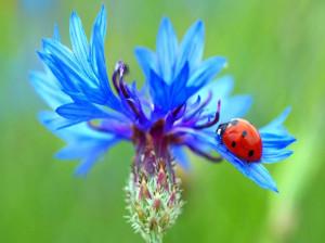 درمان بیماریهای چشمی با گل گندم