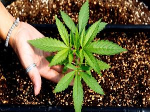 گیاه سالویا چیست؟ عوارض مصرف گیاه سالویا