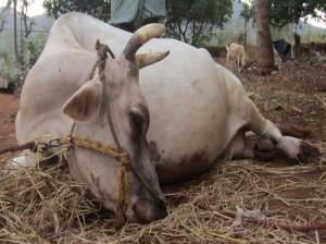 علت سقط مکرر جنین در گاو چیست ؟