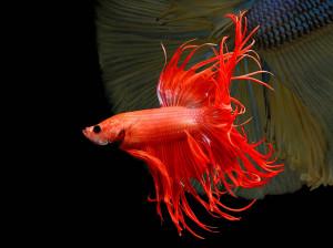 آموزش تشخیص جنسیت ماهی نر و ماده