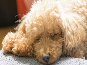 علت لرزش بدن سگ چیست ؟