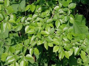 چند نسخه درمانی مختلف با گیاه دارویی نارون لغزنده