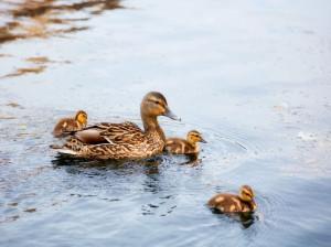 محل نگهداری جوجه اردک در خانه
