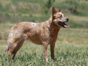 معرفی سگ گله نژاد استرالیان کتل داگ