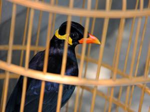 دانلود صدای مرغ مینا برای آموزش و حرف زدن سریع