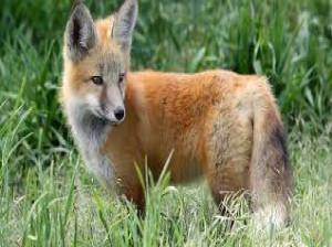 دانلود صدای روباه (نر،ماده) با کیفیت بالا
