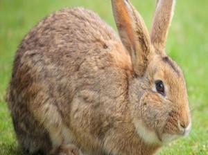 نگهداری خرگوش : علائم دقیق و راههای تشخیص بارداری خرگوش