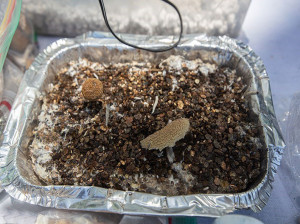 قارچ سمی ماده مخدر جدید و بسیار کشنده !