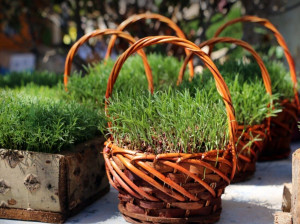 آموزش کاشت سبزه عید با لوبیا چشم بلبلی بسیار متفاوت و زیبا