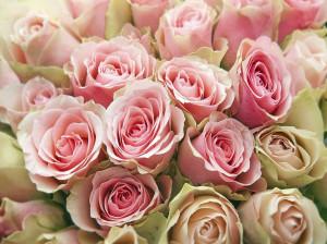 معنای رنگ های مختلف گل رز : گل رز نشانه چیست ؟