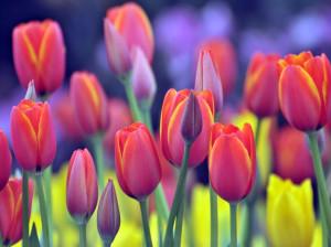 معنای رنگ های مختلف گل لاله : گل لاله نشانه چیست ؟