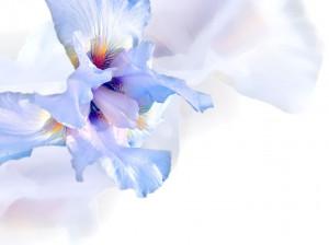 گل زنبق نماد چیست ؟