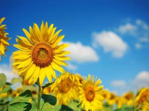 گل آفتابگردان نماد چیست ؟
