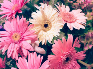 معنی رنگ های مختلف گل ژربرا : گل ژربرا نماد چیست ؟