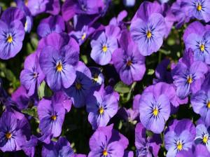 گل بنفشه نماد چیست ؟