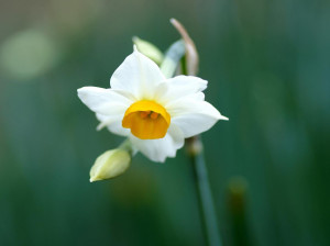 معنای نمادین گل نرگس : گل نرگس نماد چیست ؟
