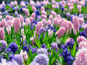 100 عکس حیرت انگیز از گل سنبل با حال و هوای نوروزی