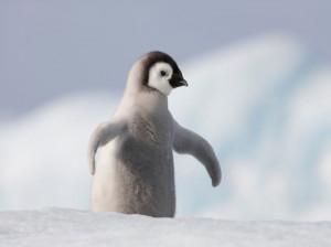 50 عکس دیدنی از پنگوئن های بامزه