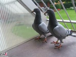علت تبخال و آبله در پرندگان(کبوتر)