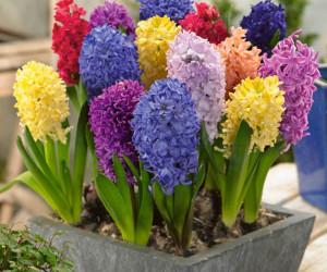 نگهداری گل سنبل و پیاز گل سنبل