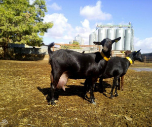 آشنایی با طرح توجیهی پرورش بز مورسیا | با شیر دهی بالا