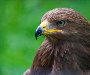 معرفی دو گونه عقاب خالدار به نام عقاب خالدار بزرگ و کوچک + تصاویر