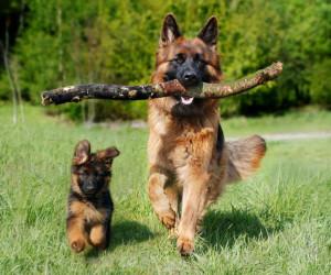 آشنایی کامل با نوع و دسته سگ نژاد ژرمن شپرد