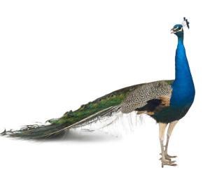 تعبیر خواب طاووس : ۲۸ نشانه دیدن طاووس در خواب