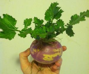 آموزش کاشت 3 روش سبزه شلغم،هویج و چغندر + فیلم آموزشی