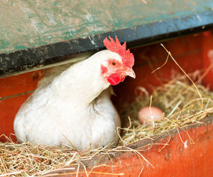 بهترین نژاد مرغ تخمگذار چیست ؟