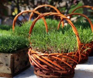 طرز کاشت سبزه نخود شیک و باکلاس برای عید نوروز