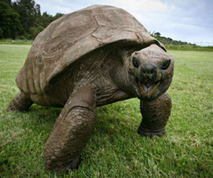 لاک پشت ۱۸۸ساله، پیرترین حیوان روی خشکی !