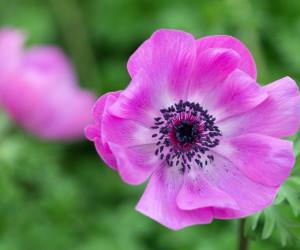 40 عکس باکیفیت گل آنمون با رنگ های خاص و دیدنی