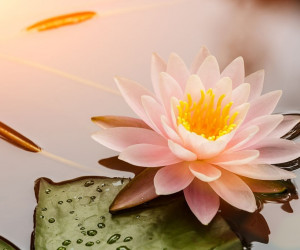 50 عکس حیرت انگیز گل نیلوفر آبی با کیفیت بالا