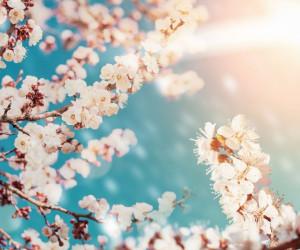 77 عکس دیدنی از شکوفه زردآلو با کیفیت بالا