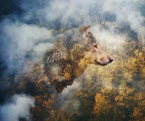 70 عکس خیره کننده گرگ حیوان درنده و قدرتمند