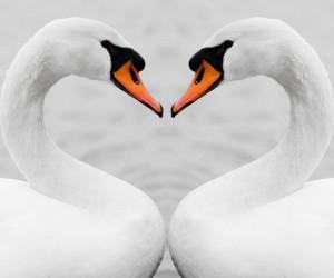 50 عکس رویایی و آرامش بخش قو پرنده عاشق