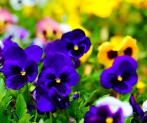 50 عکس دیدنی از گل بنفشه با حس و حال نوروزی