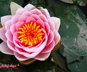 گل نیلوفر آبی بسیار زیبا و باورنکردنی