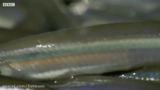 تولید مثل جالب ماهی در ساحل