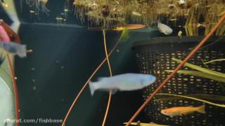ماهی آکواریومی مِداکا