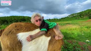 بازی کردن میمون بامزه با بزغاله
