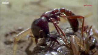 مستند کوتاه مورچه ارتش - لژیونر یا مارابونتا