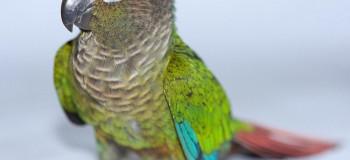 تشخیص به موقع و درمان سریع پسیتاکوز یا تب طوطی در پرندگان