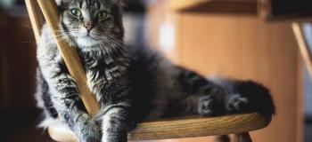 نشانه های وجود کک در بدن گربه + راه کنترل و درمان کک