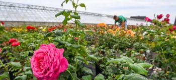 چگونه گل رز را تقویت کنیم ؟