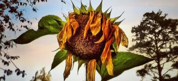نشانههای آفتاب سوختگی گیاهان + درمان سوختگی برگ گل