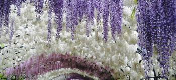 گل اقاقیا نماد چیست ؟