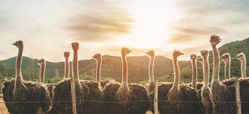 دانلود افکت صوتی صدای شترمرغ با کیفیت بالا