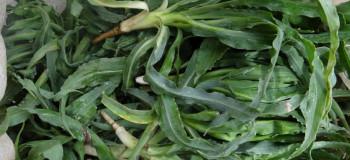 تاثیر اعجاب انگیز گیاه غازیاقی در درمان بیماری ها